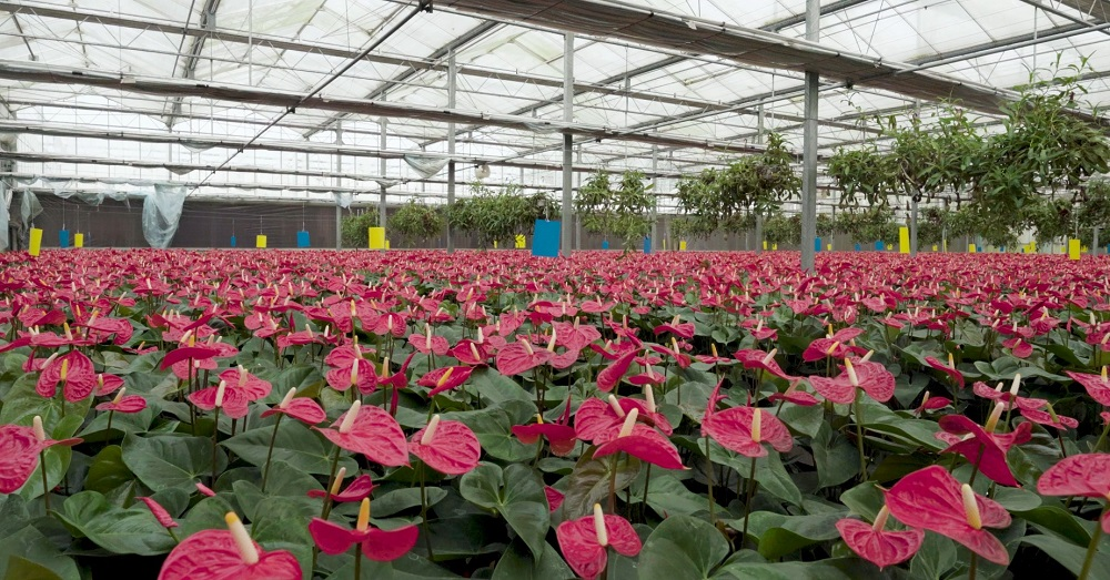 The Giant Flower Protector in The Largest Greenhouse For Chinese Lily in China
